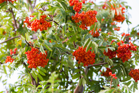 Ashberry. Ashberry tree at autumn.