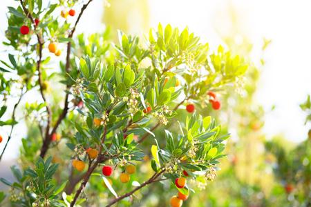 Strawberry tree, Arbutus.  Reklamní fotografie