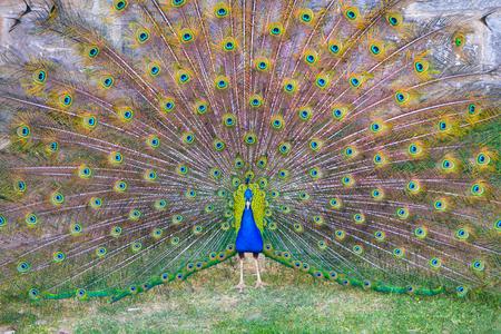 Peacock opened its great beautiful tail in biopark. Beautiful peafowl in zoological garden. Zdjęcie Seryjne