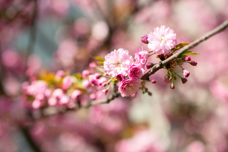 Sakura, cherry blossom, cherry tree with flowers. Oriental cherry blooming. Branch of sakura with white and rose flowers, beauty in nature, beautiful spring nature background Stock Photo