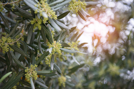 Olives in bloom. Olive trees garden. Mediterranean olive field, spring season. Italian olives grove. Olive farm.