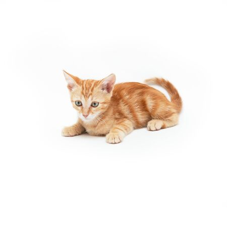 Red striped kitten plays, isolated on white background. Adorable baby cat. Animal. Cute young pet.