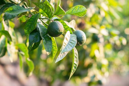 Mandarin tree with fruits. Branch with fresh green tangerines and leaves. Satsuma tree picture. 스톡 콘텐츠