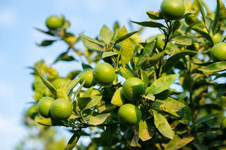 Mandarin tree with fruits. Branch with fresh green tangerines and leaves. Satsuma tree picture. Zdjęcie Seryjne