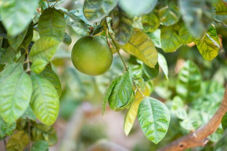 Grapefruit tree. Branch with fresh green fruits and leaves. Citrus garden in Sicily, Italy. Zdjęcie Seryjne - 130797438