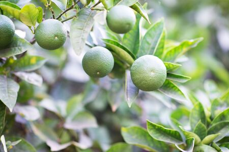 Mandarin tree with fruits. Branch with fresh green tangerines and leaves. Satsuma tree picture. Zdjęcie Seryjne - 130797900