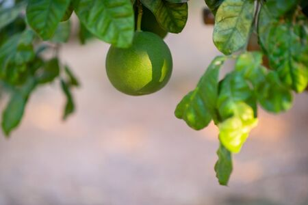 Grapefruit tree. Branch with fresh green fruits and leaves. Citrus garden in Sicily, Italy. Zdjęcie Seryjne - 130797905