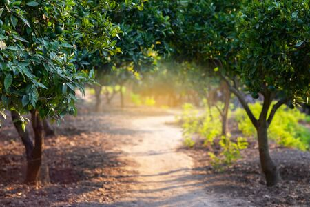 Citrus garden with trees, way and sunlight in Sicily, Italy. Mandarin tree with fruits. Branch with fresh green tangerines and leaves. Satsuma tree picture. Paradise Zdjęcie Seryjne