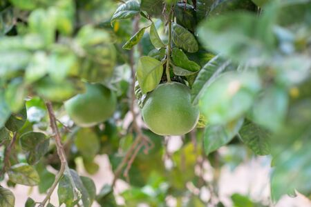 Grapefruit tree. Branch with fresh green fruits and leaves. Citrus garden in Sicily, Italy.