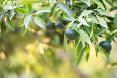 Mandarin tree with fruits. Branch with fresh green tangerines and leaves. Satsuma tree picture. Zdjęcie Seryjne - 130797918