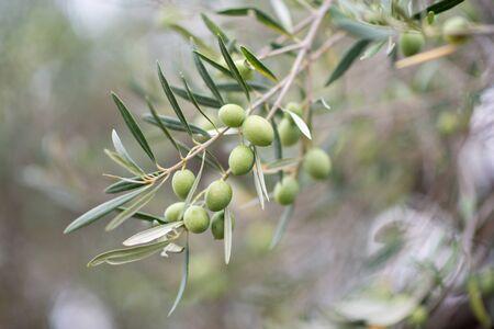 Garten mit Olivenbäumen. Mediterrane Olivenfarm bereit zur Ernte. Italienischer Olivenhain mit reifen frischen Oliven. Standard-Bild