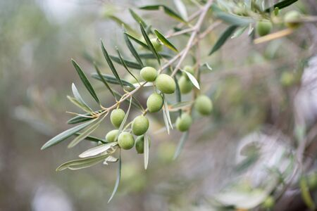 Olive trees garden. Mediterranean olive farm ready for harvest. Italian olive's grove with ripe fresh olives. Stock Photo