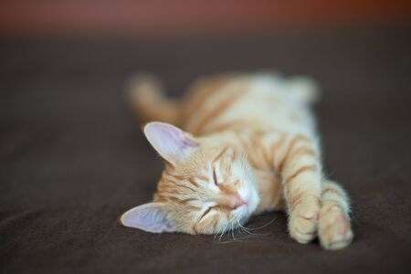 Cute red kitten with classic marble pattern sleeps on sofa. Adorable little pet. Cute child animal