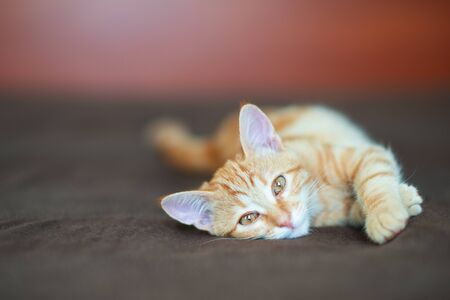 Cute red kitten with classic marble pattern lies on sofa at home. Adorable little pet. Cute child animal