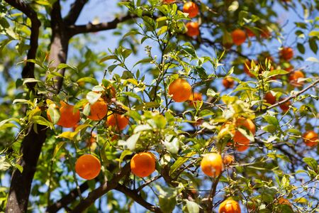 Orange tree with ripe fruits and flowers. Blooming tangerine. Branch of fresh ripe oranges with leaves and buds in sun beams. Satsuma tree picture. Citrus