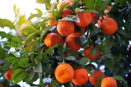 Orange tree with ripe fruits. Tangerine. Branch of fresh ripe oranges with lush leaves in sun beams. Satsuma tree picture. Citrus Zdjęcie Seryjne