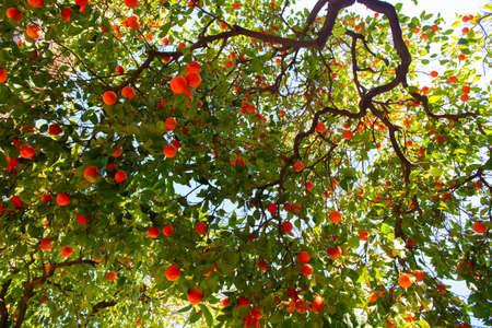 Orange tree with ripe fruits. Tangerine. Branch of fresh ripe oranges with leaves in sun beams. Satsuma tree picture. Citrus Foto de archivo