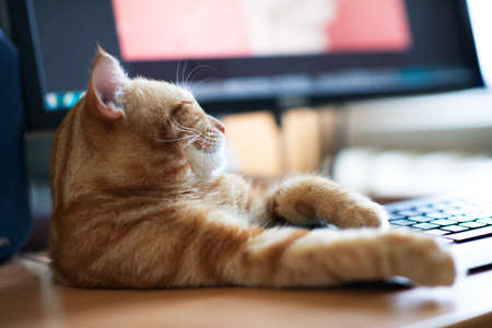 Beautiful young ginger tabby cat well-fed and satisfied sleeps at home working place next to keyboard and monitor screen.