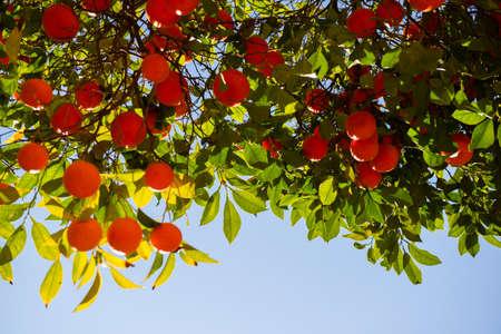 Orange tree with ripe fruits. Tangerine.