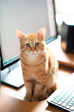 Beautiful young ginger tabby cat well-fed and satisfied sits at home working place next to keyboard and monitor screen. Foto de archivo