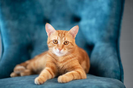 Beautiful young red tabby cat lying on blue chair at home