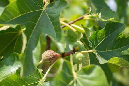 Fig fruits growing on the tree Zdjęcie Seryjne