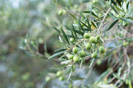 Olive trees garden. Branches with ripe fruits