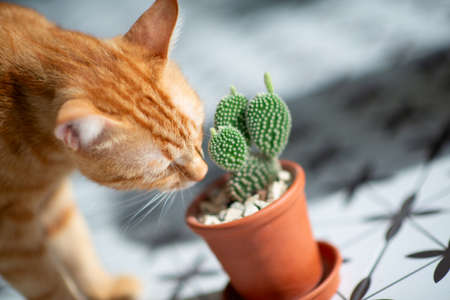 Funny curious orange tabby cat sniffs cactus growing in pot, at home