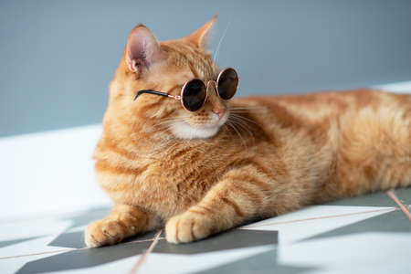 Fashion red tabby cat wearing sunglasses posing indoor. Adorable young pet. Archivio Fotografico