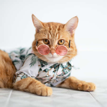 Fashion red tabby cat wearing round pink sunglasses and summer shirt. Gorgeous fluffy adorable young pet ready for travel at summer tropical resort