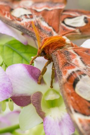 Big Butterfly moth