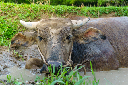 Wildlife Buffalo muddy body in muddy place