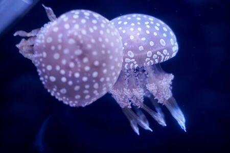 Spot Jellyfish black background underwater