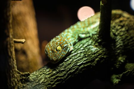 Big Gecko looking on branch of tree Stock Photo