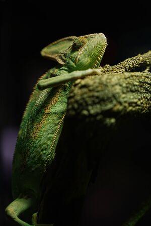 Green Chameleon black Background on tree