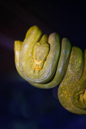 Green tree python on branch of tree