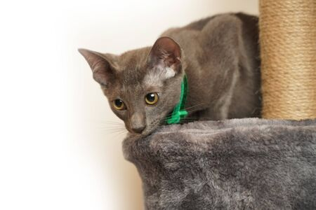 Skinny Grey cat with Green collar
