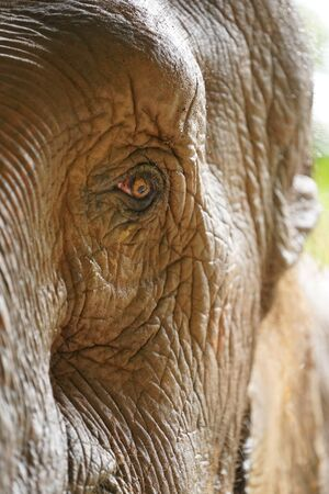 Close Elephant eye and face detail