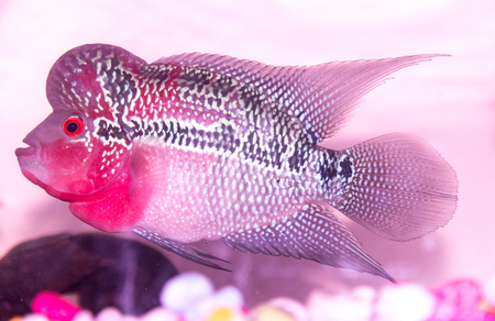 cichlid: Beautiful good color Flowerhorn cichlid fish at water tank with blue background Stock Photo