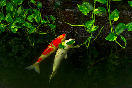 Carps Fish or Koi Swim in Pond, Movement of Swimming and Space, vivid Color , Selective Focus