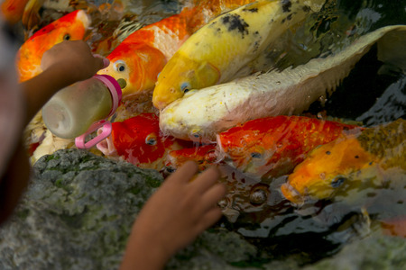 Carps Fish or carps swim in Pond, Movement of Swimming and Space, vivid Color , Selective Focus,Girl feeding milk for carps. Stock Photo - 88133061