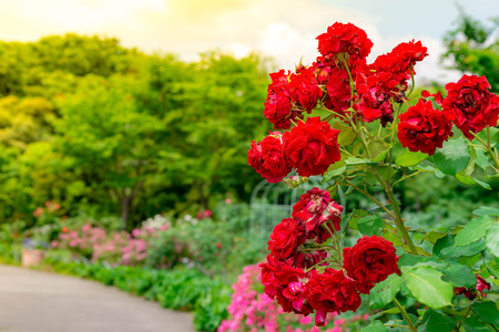 oned image of beautiful red roses growing at the road in park in Japan