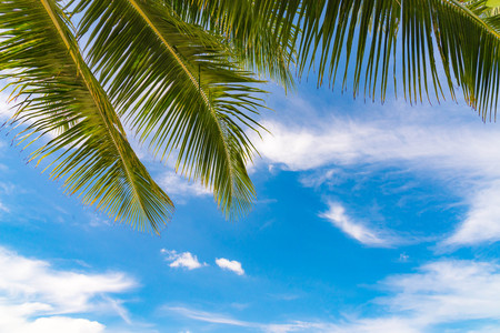 Summer concept, Palm leaf on blue sky and white clouds, perspective looking up,Asia