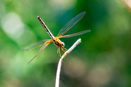 Yellow Dragonfly Perched On A Branch Top Of Tree. (selective focus)