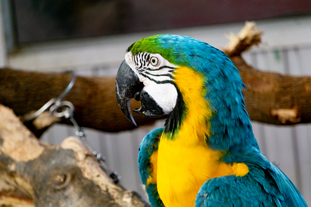Severe Macaw Parrot,Close up The Chestnut fronted Macaw.