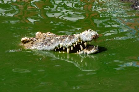 Crocodile in nature,Dangerous animals. Stock Photo