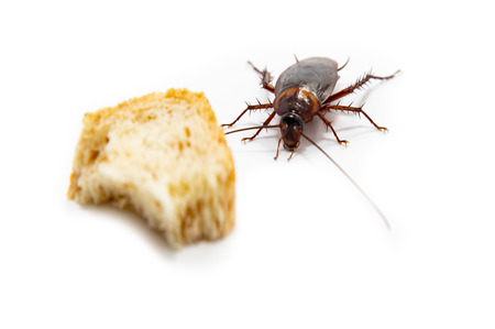 Cockroach finding food which isolated white background. Stock fotó