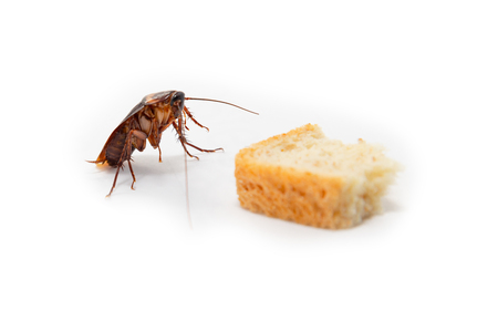 Cockroach finding food which isolated white background. Stockfoto