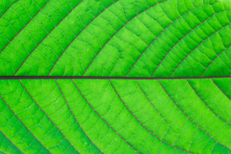 detail of green mitragyna speciosa leaves texture,Thailand. Stock Photo