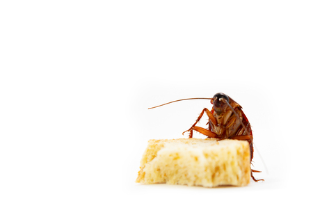 germs spread, Brown Cockroach eating a Piece of Bread